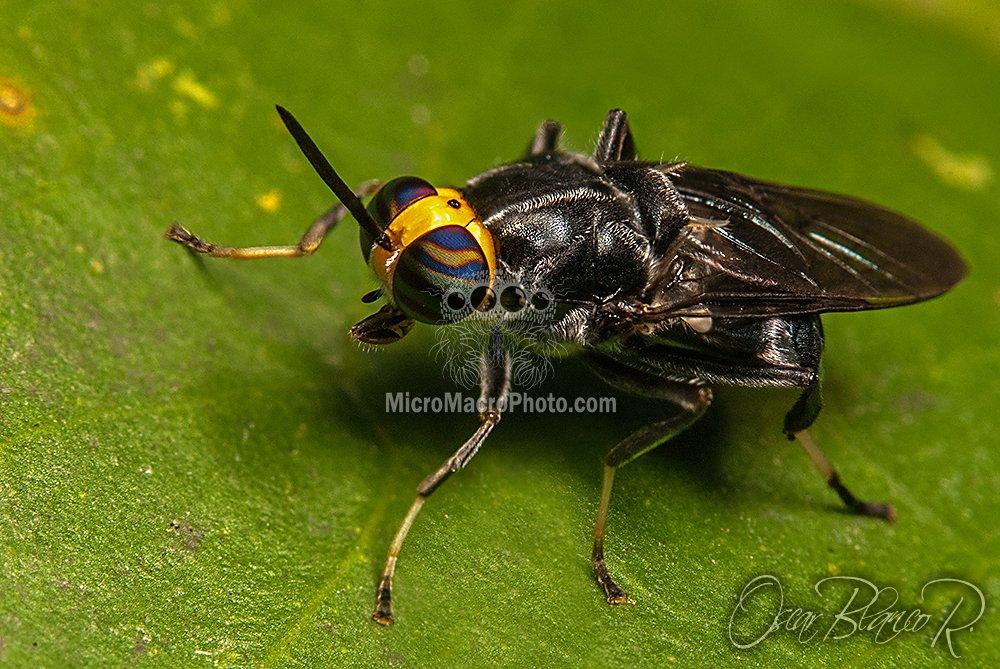 cyphomyia-sp-stratiomyidae