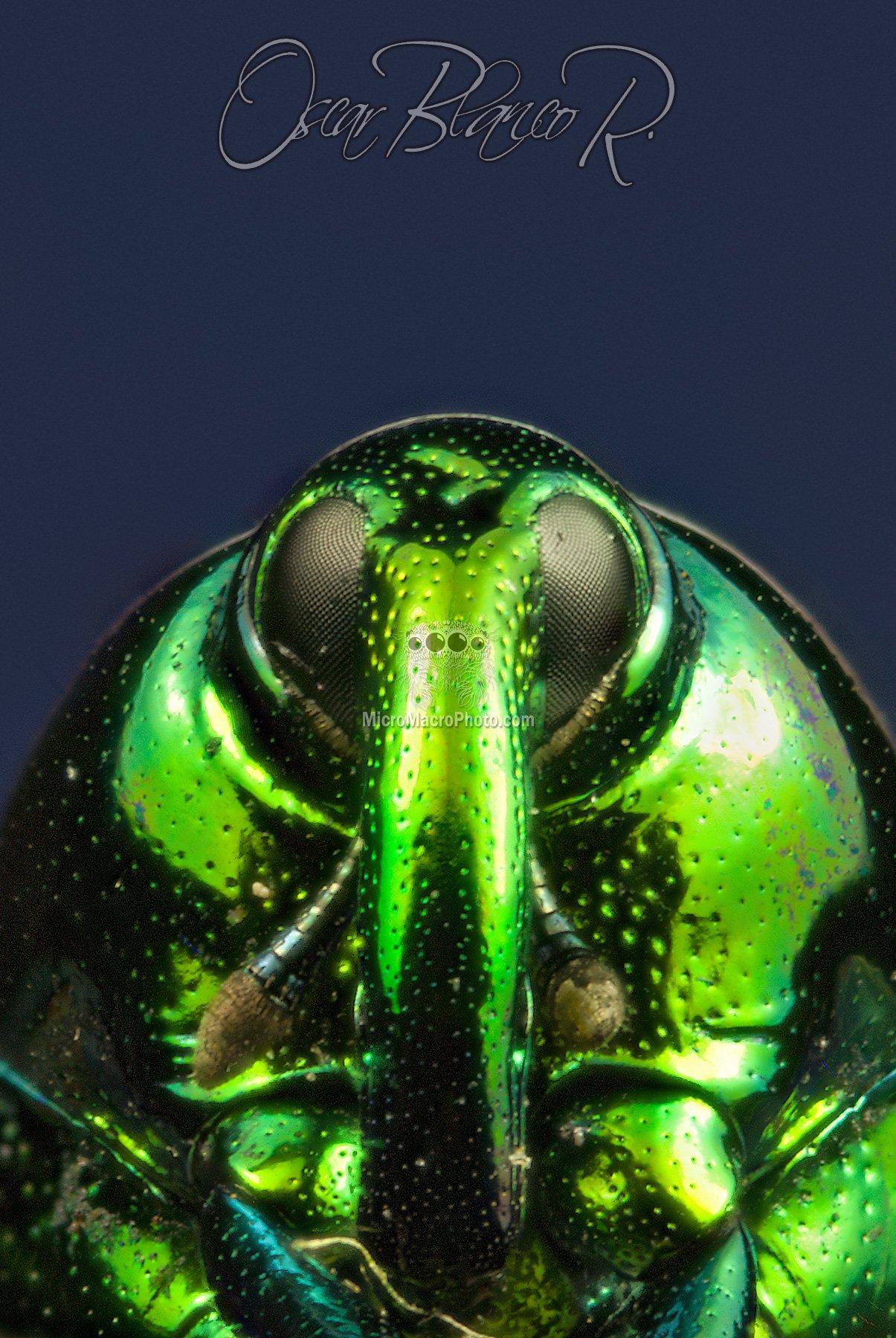 weevil-eurhinus-magnificus-gyllenha2