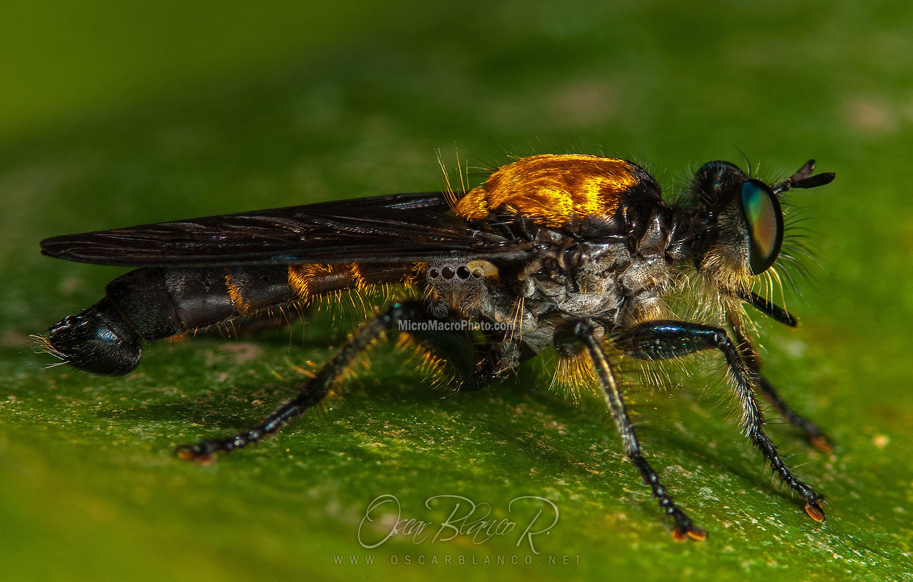 robberfly001